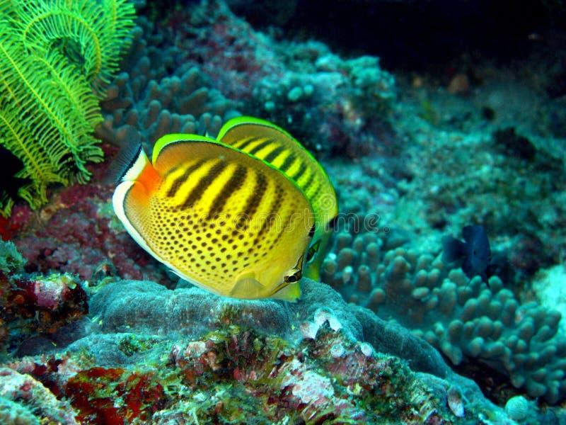 butterflyfish στοκ φωτογραφία