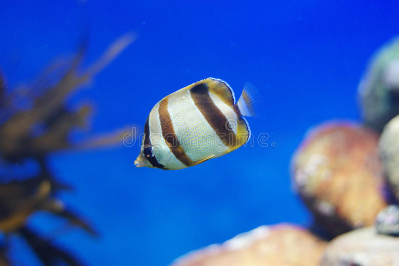Download Butterflyfish stock image. Image of doublesash, serene - 19272503
