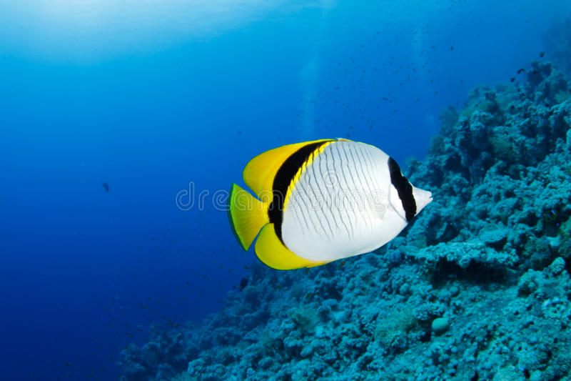 Download Butterflyfish stock photo. Image of scuba, dive, underwater - 20615548