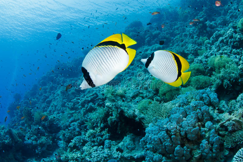 Butterflyfish. And coral reef in the red sea royalty free stock photo