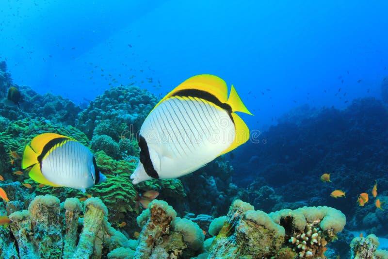 Butterflyfish fotografia de stock