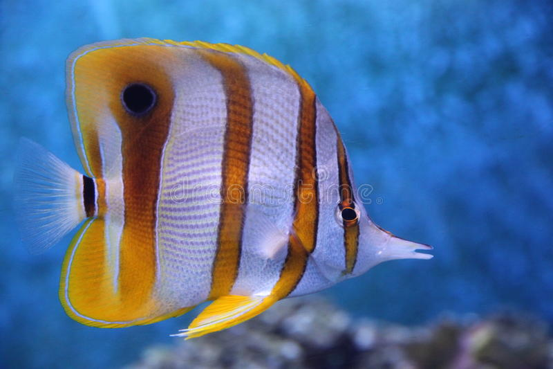 Butterflyfish 库存图片