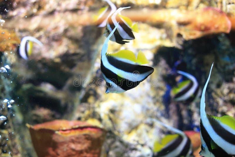 Butterflyfish foto de archivo