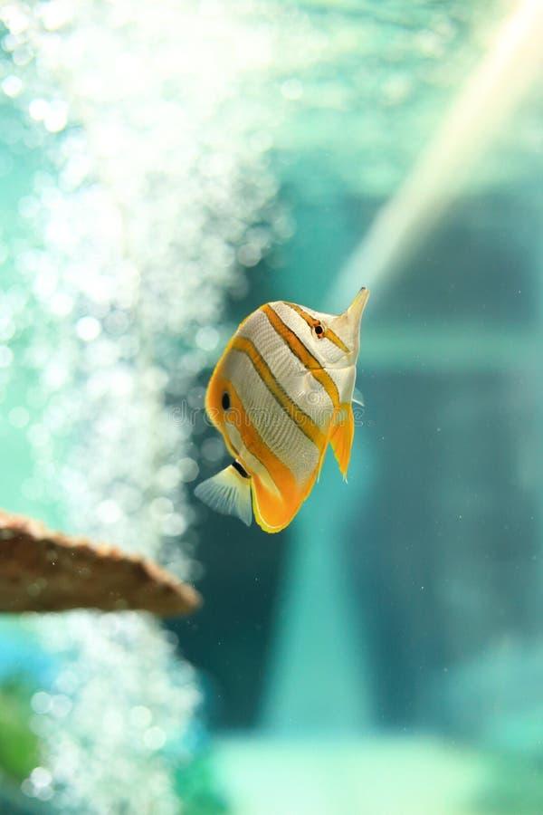 Butterflyfish fotos de archivo libres de regalías