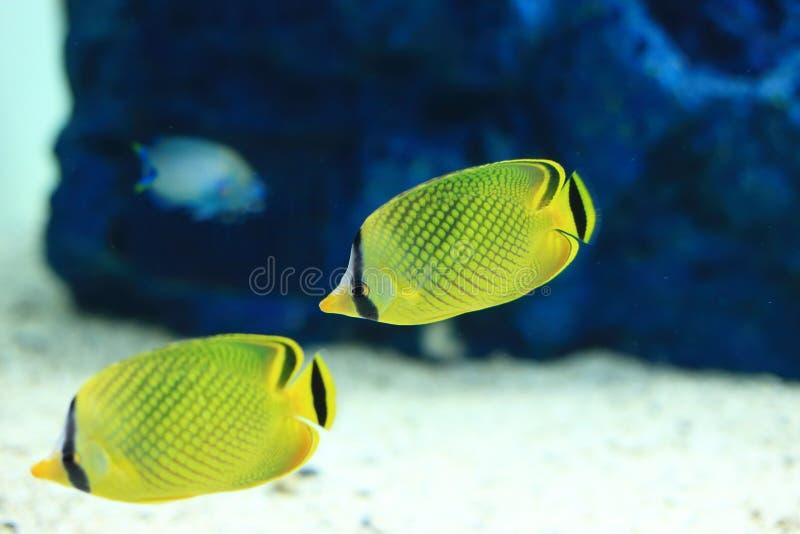 Butterflyfish imágenes de archivo libres de regalías