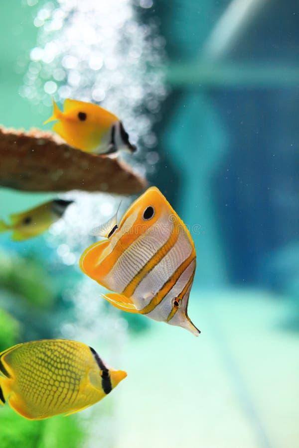 Butterflyfish imagenes de archivo
