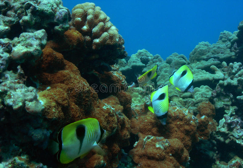 Download Butterflyfish Stock Image - Image: 9912281