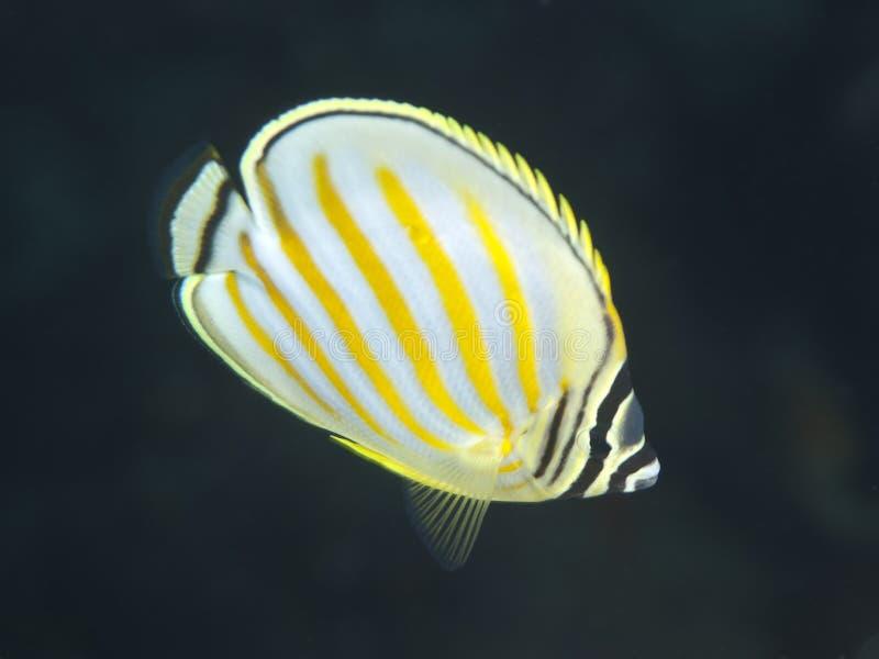 Butterflyfish adornados imagen de archivo libre de regalías