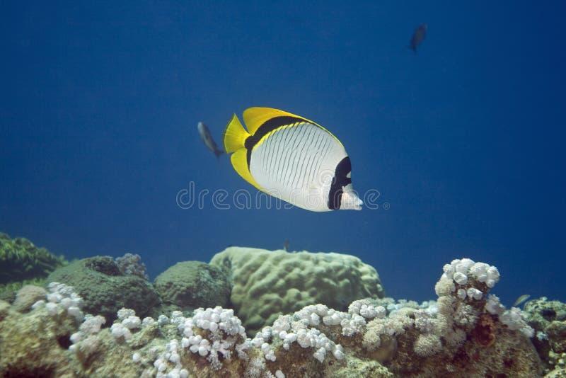 Butterflyfish alineado (lineolatus del chaetodon) fotos de archivo