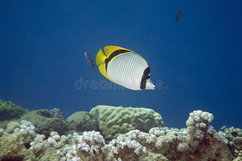 Butterflyfish allineato (lineolatus del chaetodon) fotografie stock
