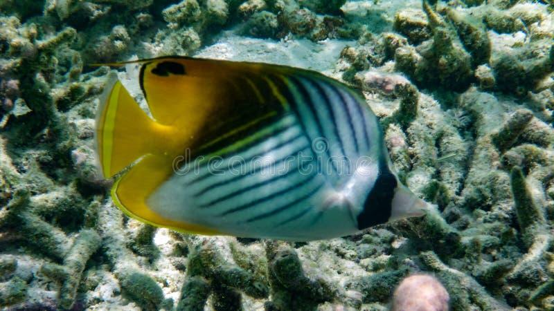 Butterflyfish Auriga, Butterflyfish Threadfin, Индийский океан, Мальдивы стоковые изображения rf