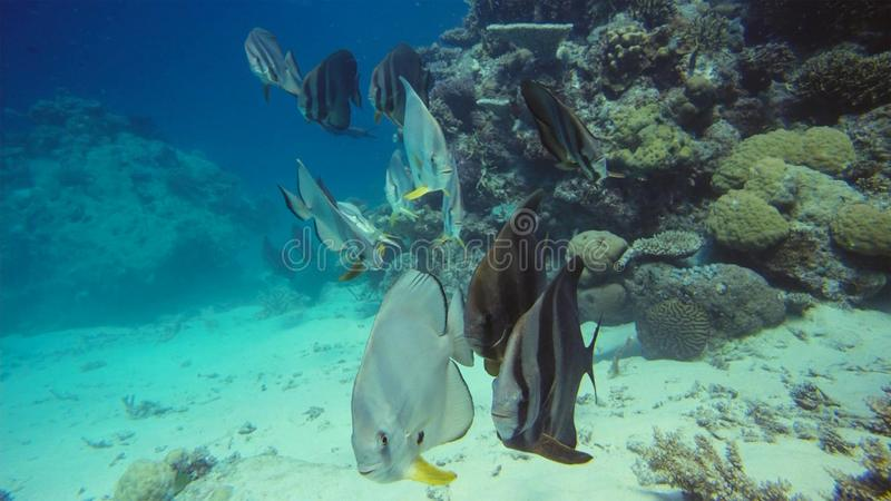 Butterflyfish, bannerfish and reef fish eating jellyfish stock photography
