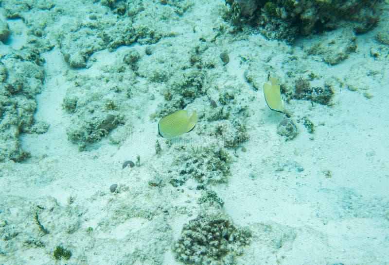 Butterflyfish cítricos en el suelo marino foto de archivo