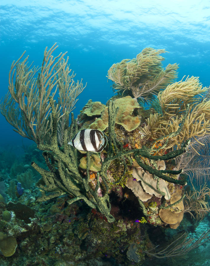 butterflyfish Caribbean rafa koralowa fotografia royalty free