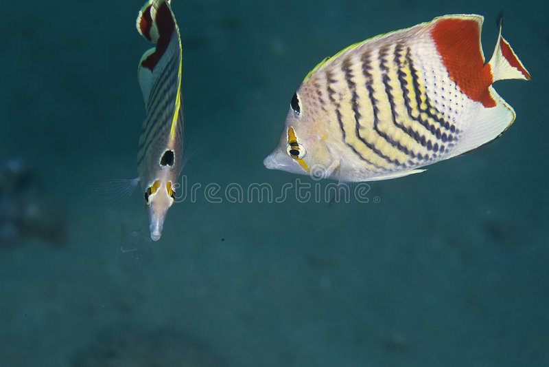 butterflyfish chaetodon冠paucifasciatus 免版税图库摄影