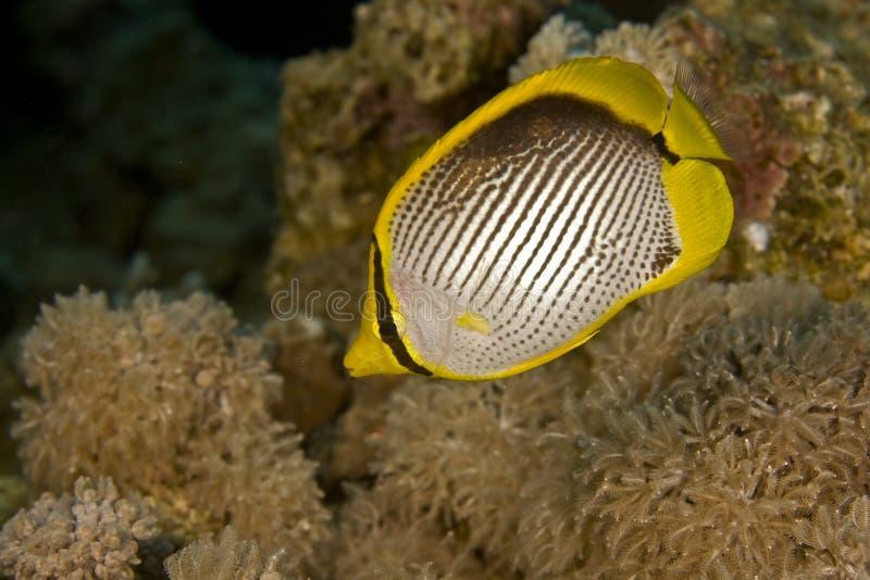 Butterflyfish col dorso nero (melannotus del chaetodon) fotografia stock libera da diritti