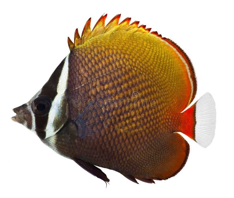 butterflyfish collare zdjęcia royalty free