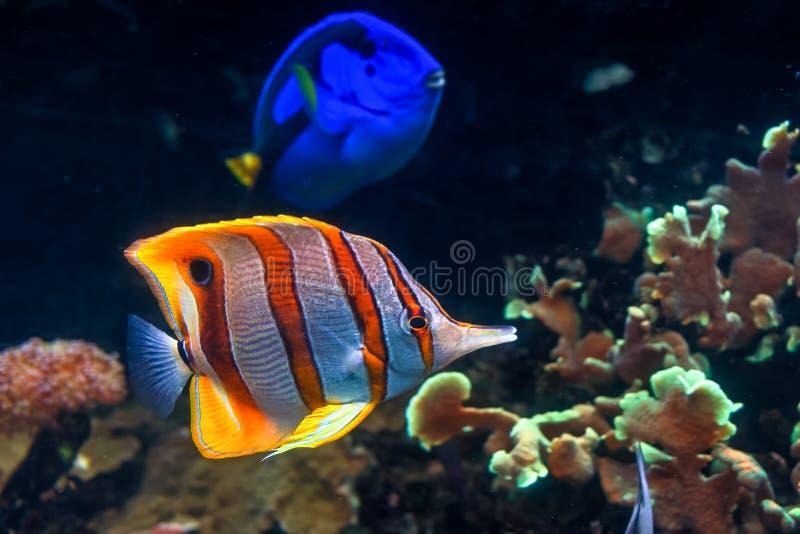 Butterflyfish Copperband с царственной тянью стоковые изображения rf