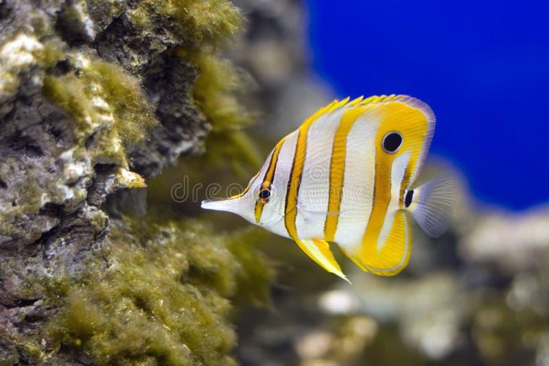 butterflyfish copperband 库存图片