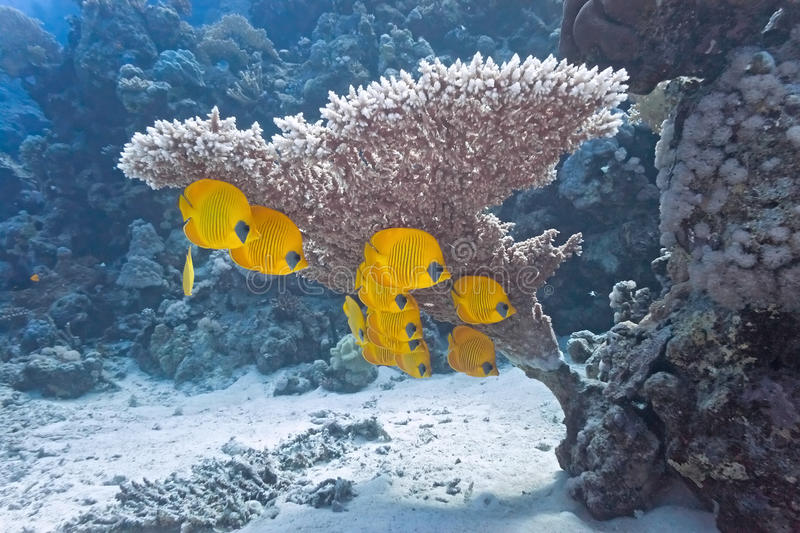 Butterflyfish On The Coral Reef Stock Photo
