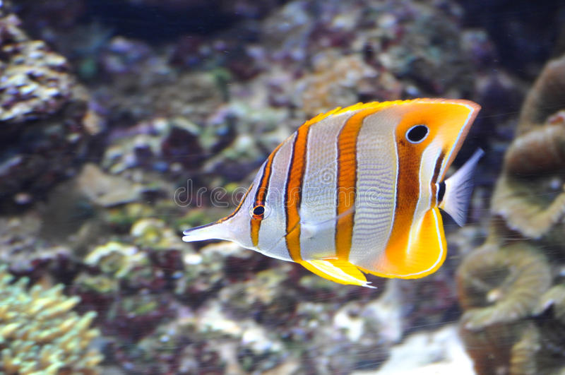 Butterflyfish de Copperband imagem de stock royalty free