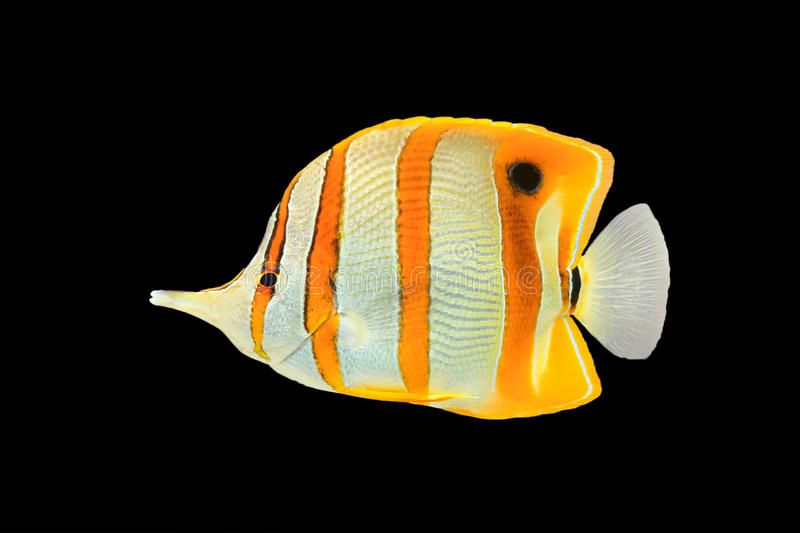 Butterflyfish de Copperband no preto fotografia de stock royalty free
