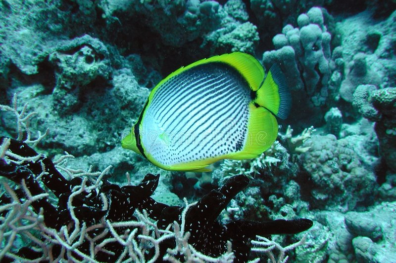 Butterflyfish de espalda negra. foto de archivo