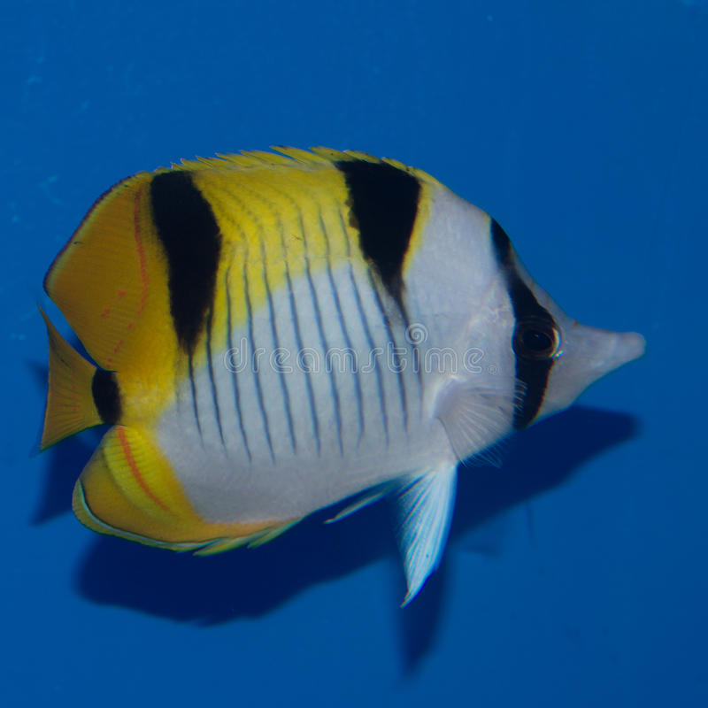 Butterflyfish de Falcula, vrais photos libres de droits