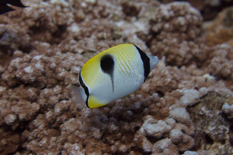 Butterflyfish de la lágrima en Coral Reef imágenes de archivo libres de regalías