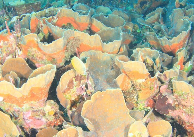 Butterflyfish de perches de la Manche au-dessus des éponges d'oreille d'éléphant photos libres de droits