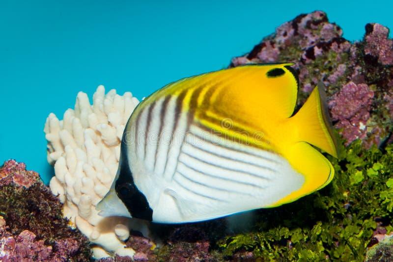 Butterflyfish del Threadfin fotografía de archivo