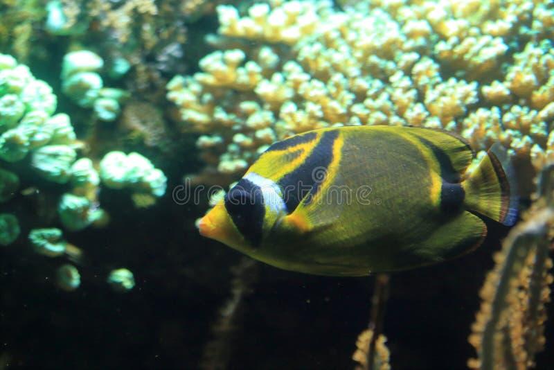 Butterflyfish do guaxinim imagem de stock