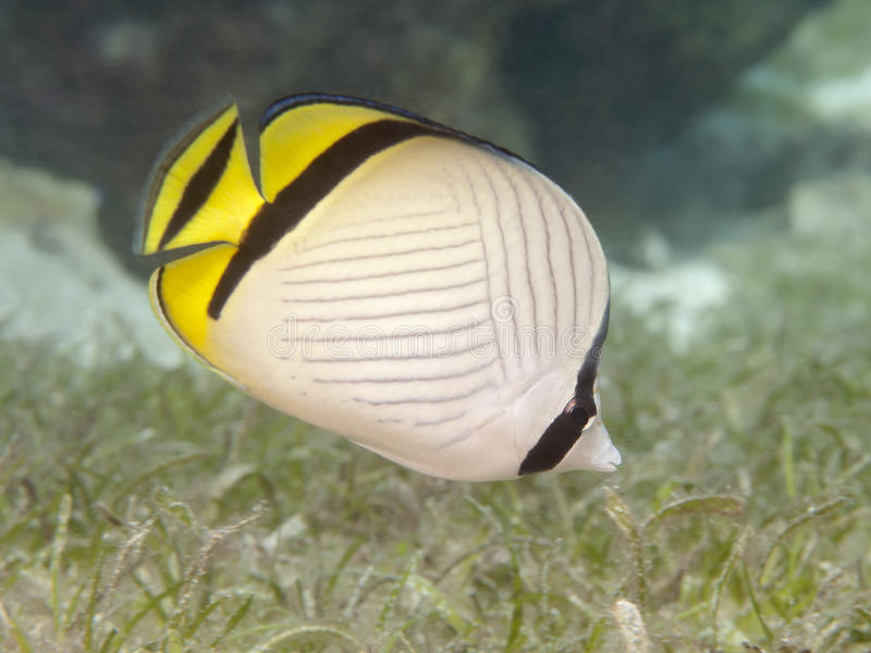 Butterflyfish do vagabundo foto de stock