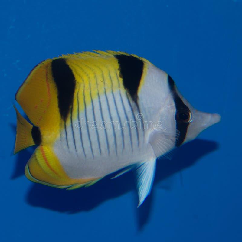 Butterflyfish Falcula, верно стоковые фотографии rf