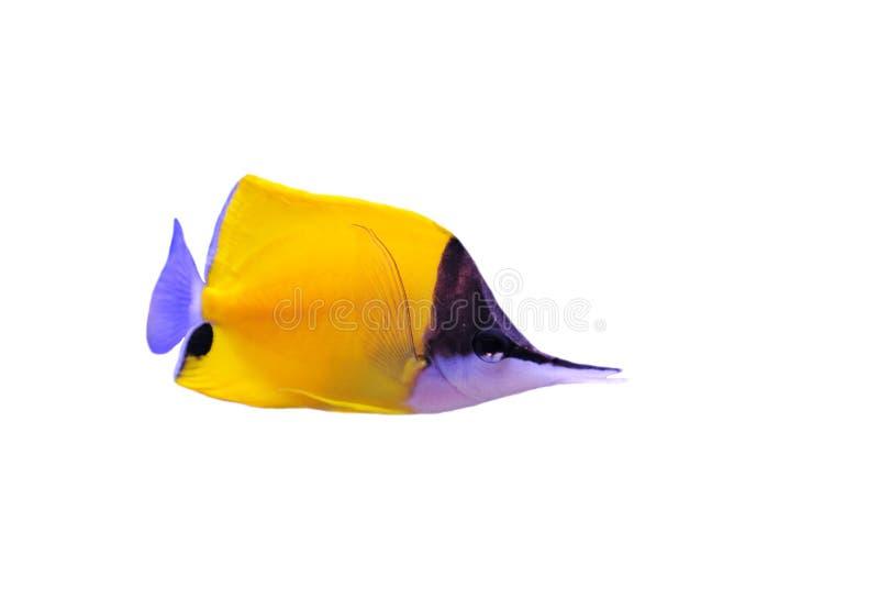 Butterflyfish Longnose amarelo foto de stock royalty free