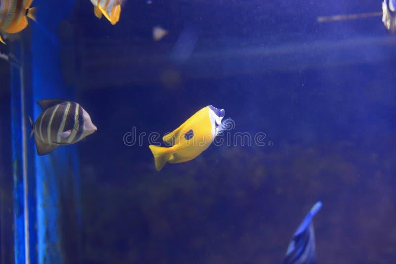 Butterflyfish Longnose amarelo fotos de stock