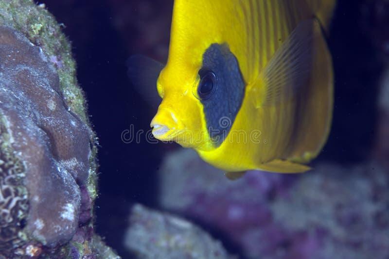 Butterflyfish mascherato fotografie stock