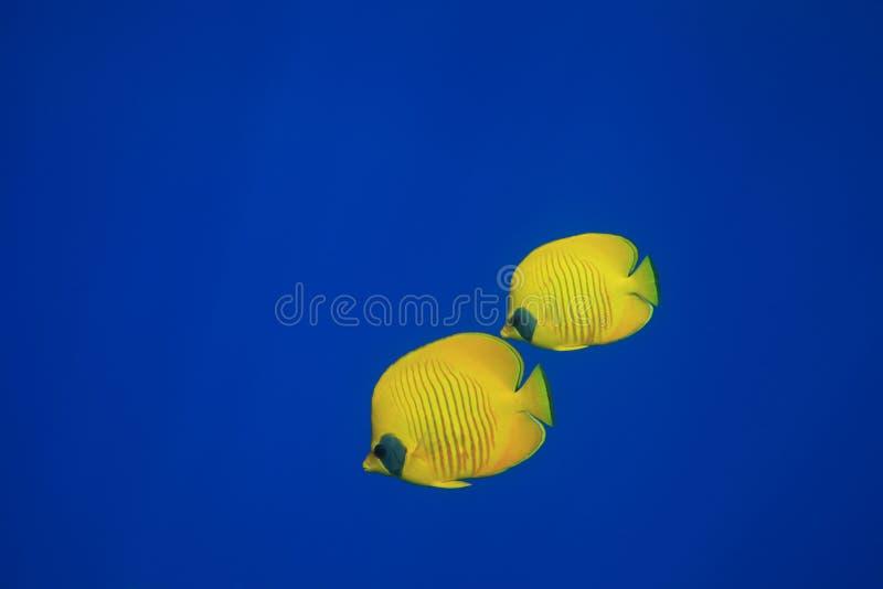 Butterflyfish mascherato fotografia stock