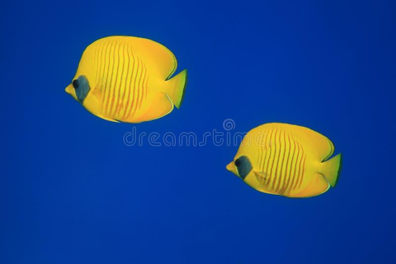 Butterflyfish mascherato fotografia stock libera da diritti