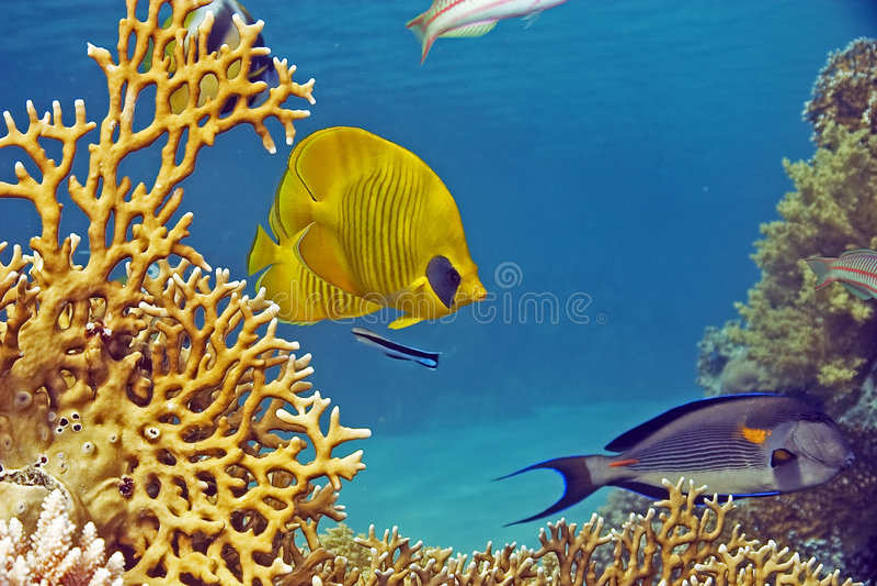 Butterflyfish mascherato (larvatus del chaetodon) immagine stock libera da diritti