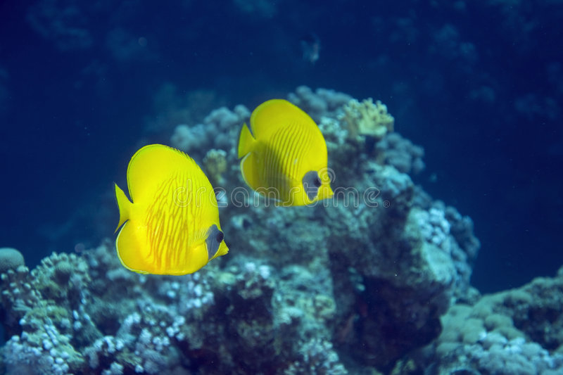 Butterflyfish masqué (larvatus de chaetodon) photo stock