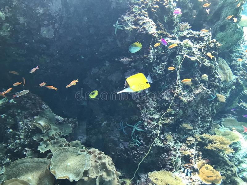 Butterflyfish ou peixes longnose amarelos do fórceps fotografia de stock