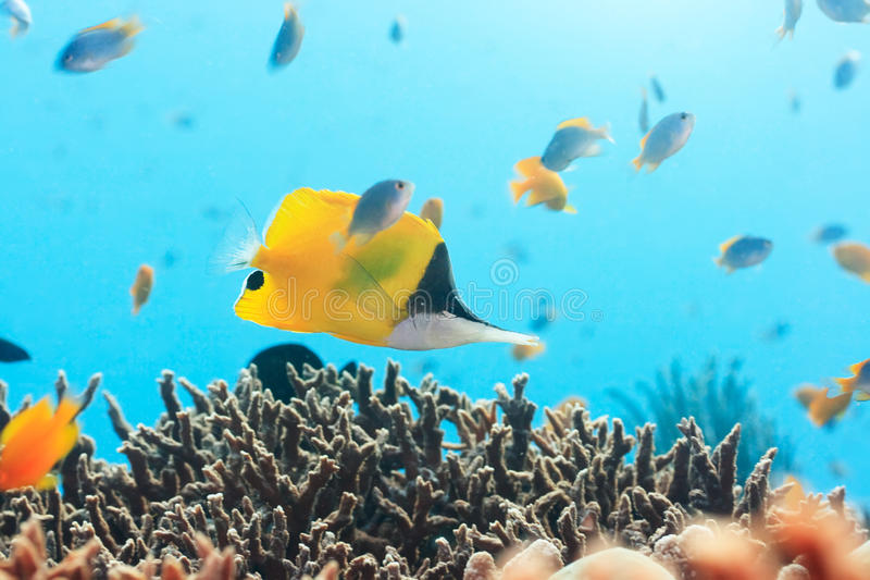 Butterflyfish a punta lunga giallo immagine stock