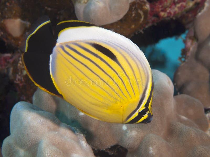 Butterflyfish squisiti immagine stock