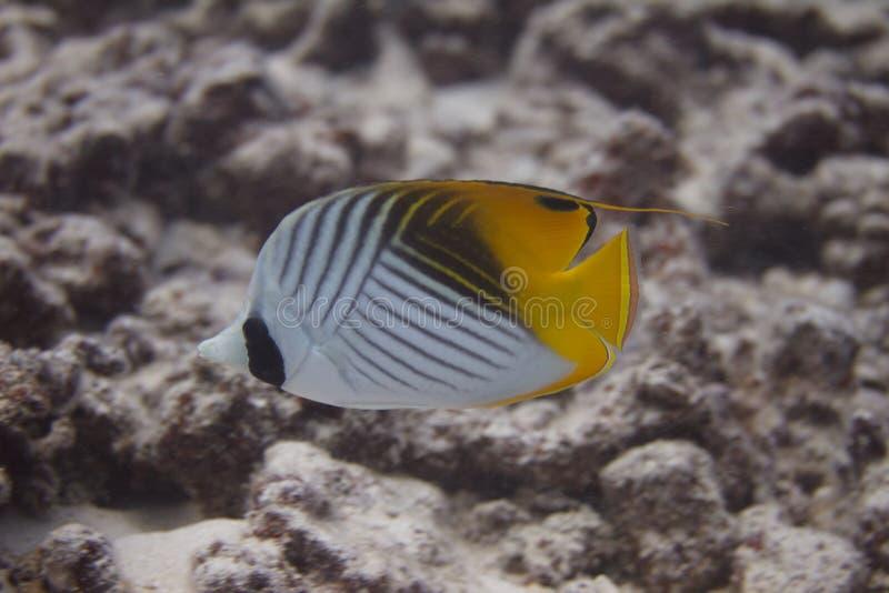 Butterflyfish Threadfin на коралловом рифе стоковая фотография rf