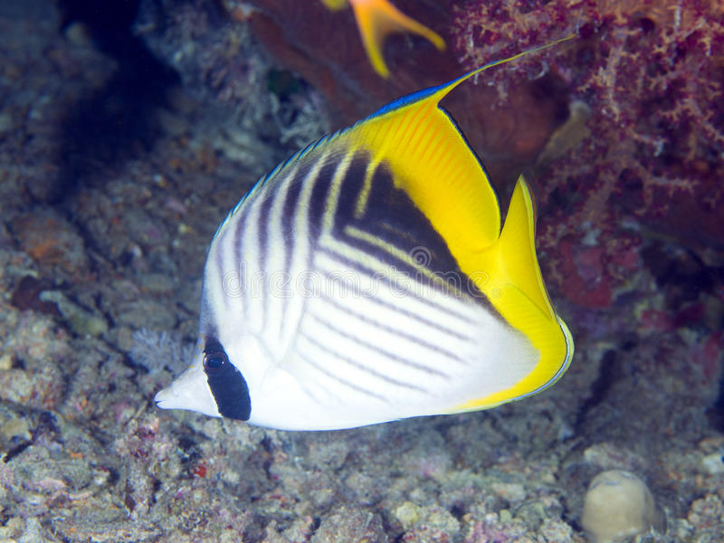 Butterflyfish Threadfin рыб коралла стоковая фотография rf