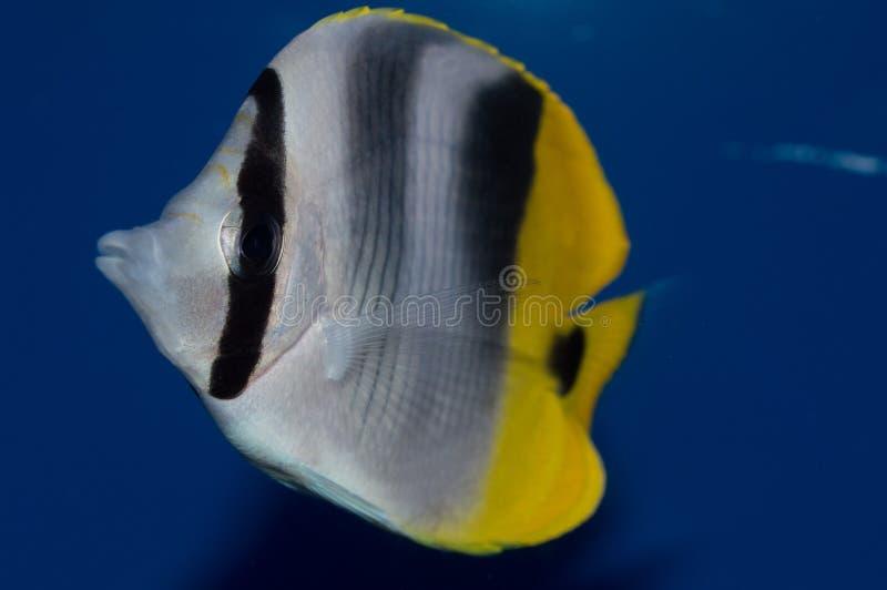 Butterflyfish verdaderos de Falcula fotografía de archivo libre de regalías