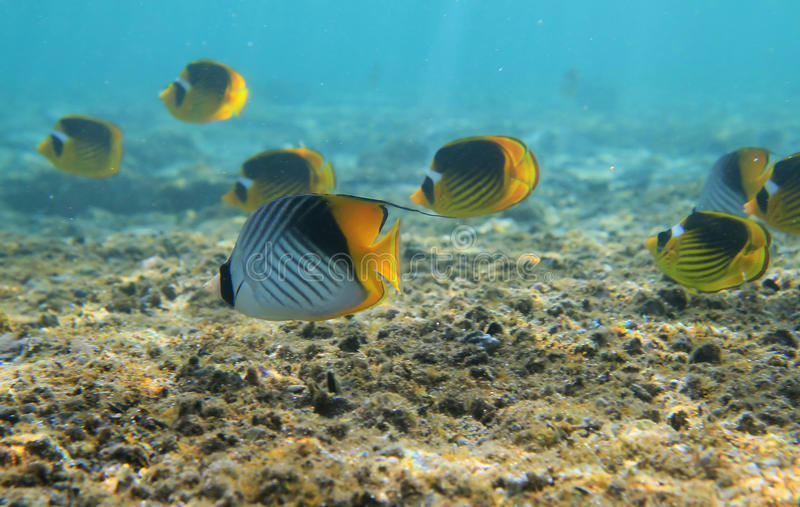 Butterflyfishes royalty free stock images
