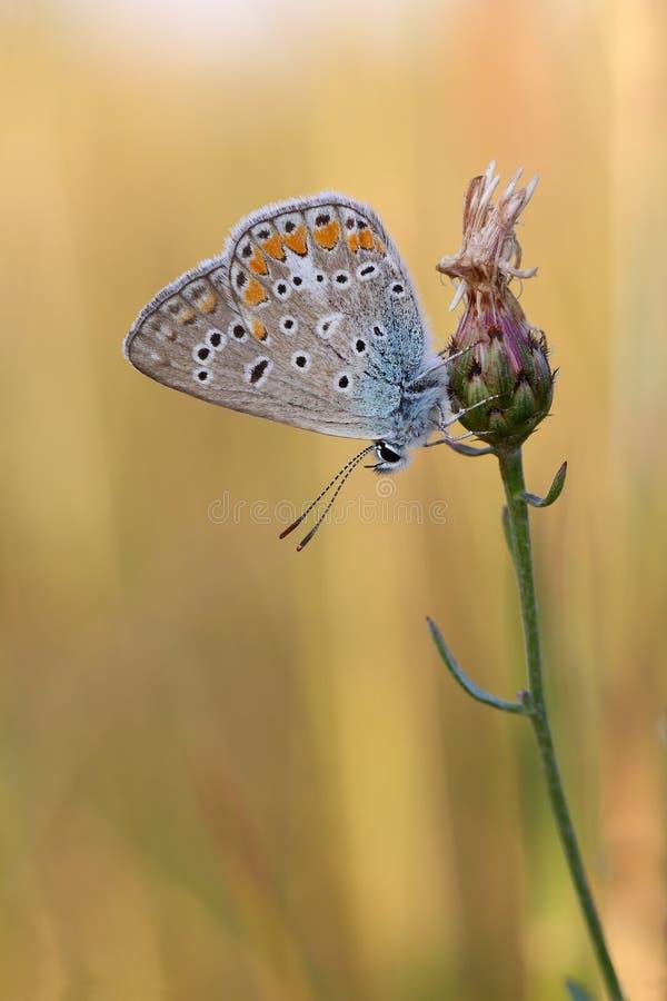 ButterflyPolyommatus bleu commun Icare photo stock