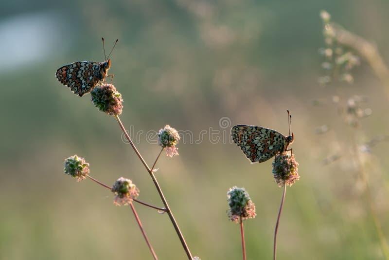 Butterflys梅利塔在秋天在草甸等候在森林花中的黎明 免版税图库摄影